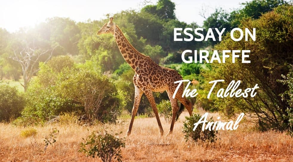 Essay on Giraffe - The Tallest Animal